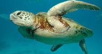 drevne kornjače