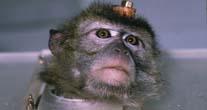 majmun u laboratoriju
