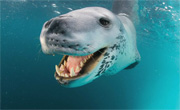 Morski leopard