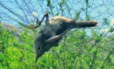Acrocephalus orinus
