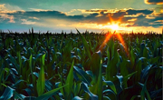 polje kukuruza