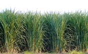 šećerna trska