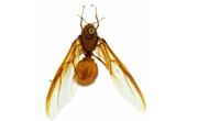 mužjak mrava rezača