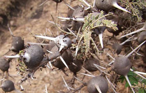 Zviždajući trnovi (foto: Wikimedia Commons)