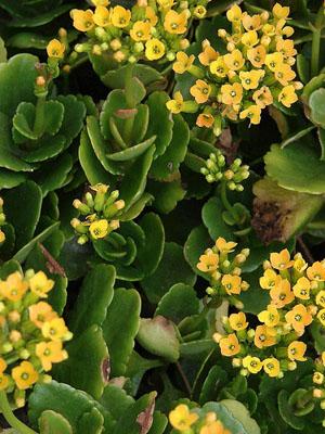 Kalanchoe  blossfeldiana (Foto: Flickr)