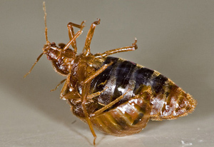 Traumatina ooplodnja u vrste Cimex lectularius (foto: Wikimedia Commons)