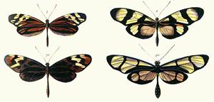 Mimikrija letira (foto: Wikipedia)