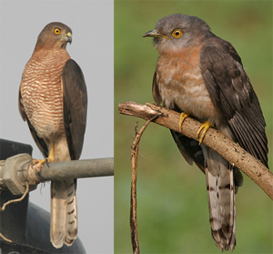 Mimikrija ptica (foto: Wikimedia Commons)