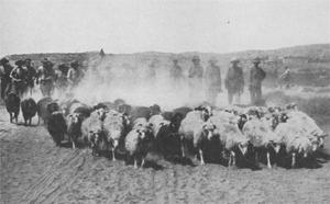Ovce (foto: Gresham Publishing Company)