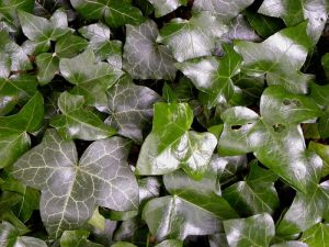 Listovi bršljana (foto: Flickr)