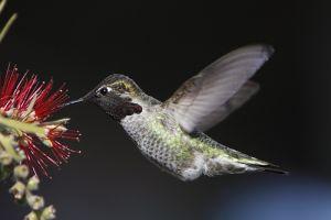 Oprašivanje pticama (foto: Flickr)