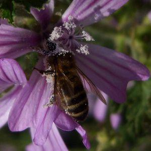 Oprašivanje kukcima (foto: Flickr)