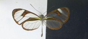 Ithomia agnosia (foto: Tolweb.org)
