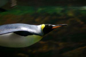 Kraljevski pingvin (foto: Wikimedia Commons)