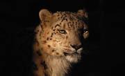 Snježni leopard (foto: Wikimedia Commons)