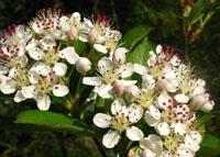 Aronija cvijet (foto: Wikimedia Commons)