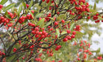 Aronija crveni plod (foto: Wikimedia Commons)
