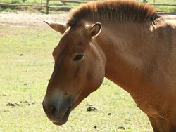 Equus przewalskii (foti: Wikimedia Commons)