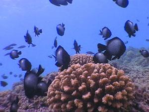 Ribe koraljnog grebena (foto: NOAA)