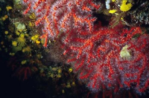 Corallium rubrum (foto: EOL)