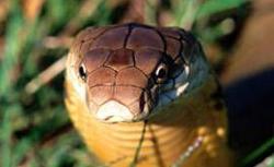 Kraljevska kobra (foto: EOL)