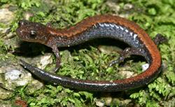 Plethodon cinereus (foto: EOL)