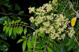 Ailanthus altissima (foto: EOL)