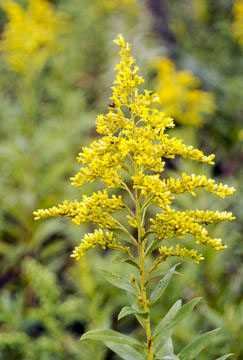 Solidago gigantea (foto: EOL)