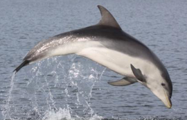 Tursiops australis (foto: PLOS)