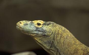 Varanus komodoensis (foto: EOL)