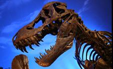 Tyrannosaurus rex (foto: Wikimedia Commons)