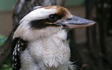 Nasmijana kukabura (foto: Wikimedia Commons)