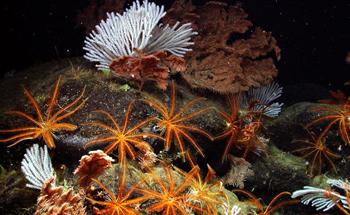 Dubokomorski koraljni vrtovi (foto: NOAA)