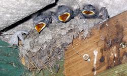 Mlade lastavice u gnijezdu (foto: Wikipedia)
