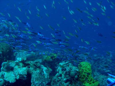 Hranjenje riba iznad koraljnog grebena (foto: NOAA)