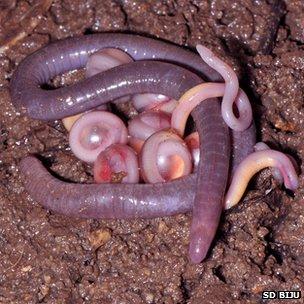 Chikilidae (foto: SD BIJU)