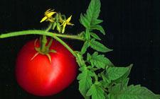 Rajčica  (foto: Wikimedia Commons)