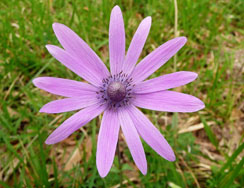 Anemone hortensis (foto: Wikimedia Commons)