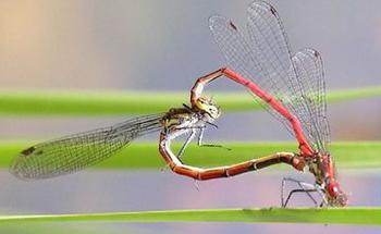 Vretenca tijekom parenja (foto: EOL)