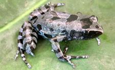 Bururi dugoprsta žaba (foto: David Blackburn)