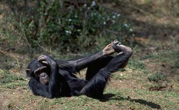Čimpanza (foto: EOL)