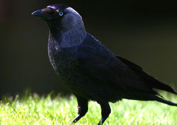 Corvus monedula (foto: EOL)