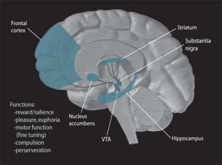 Put dopamina u mozgu (foto: Wikimedia Commons)