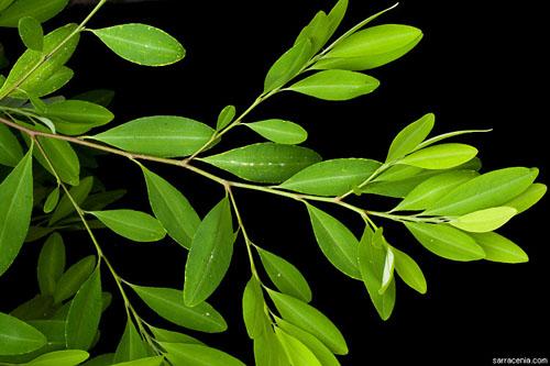 Erythroxylum coca (foto: calphotos.berkeley.edu)