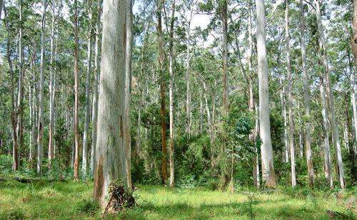 Eucalyptus globulus  (foto: EOL)