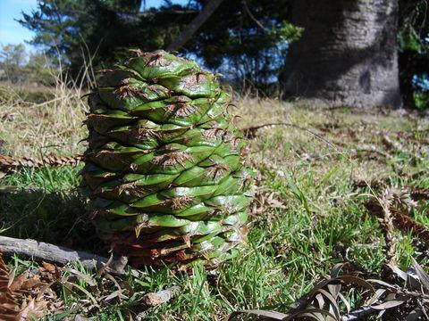 Češeri vrste Araucaria bidwillii (foto: EOL)