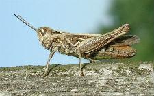 Chorthippus biguttulus, ženka (foto: Wikimedia Commons)