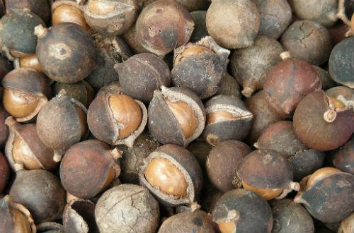 Makadamija oraščići (foto: Flickr)