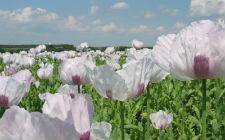 Polje opijumskog maka (foto: Wikimedia Commons)