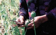 Sakupljanje opijuma (foto: Wikimedia Commons)
